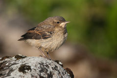 Juvenile Northern Wheatear. Standing on a rock Stock Photography