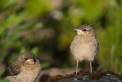 Juvenile Northern Wheatears. Two Juvenile Northern Wheatears on a rock Stock Photo