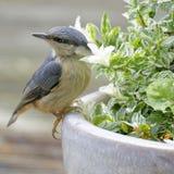 Juvenile Nuthatch. On Flower Pot Stock Photos