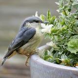 Juvenile Nuthatch. On Flower Pot Royalty Free Stock Photo