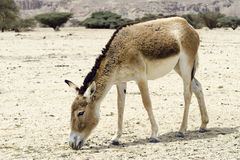 The juvenile onager (Equus hemionus) Royalty Free Stock Image