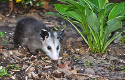 Juvenile Opossum in Flowerbed Stock Images