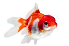 Juvenile Oranda Goldfish Royalty Free Stock Photo