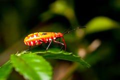 Juvenile orange assassin bug. On a green leaf Stock Image