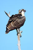 Juvenile Osprey. Standing on a dead branch Royalty Free Stock Images