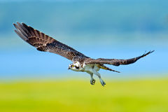 Juvenile Osprey. In flight Royalty Free Stock Image