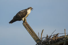 Juvenile Osprey Calling from Perch Stock Image