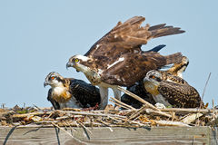 Juvenile Osprey Chicks with Parent Stock Photography