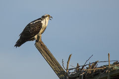 Juvenile Osprey Communicating from Wood Perch Stock Photo
