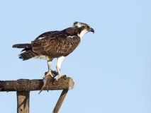 Juvenile Osprey with fish Royalty Free Stock Images