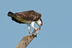 Juvenile Osprey with Fish Stock Photo