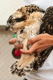 Juvenile Osprey Held After Banding Royalty Free Stock Photo