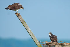 Juvenile Osprey Royalty Free Stock Images