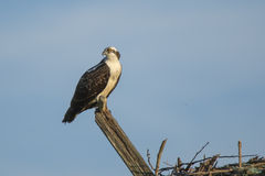 Juvenile Osprey Looking Over Shoulder Stock Photography