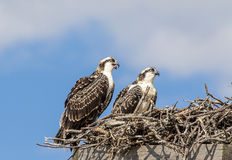 Juvenile Osprey in the nest Royalty Free Stock Photography
