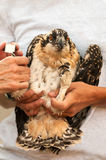 Juvenile Osprey (Pandion haliaetus) Banding Royalty Free Stock Images