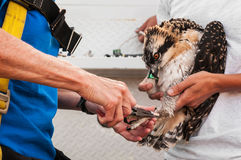 Juvenile Osprey (Pandion haliaetus) Being Banded Royalty Free Stock Images