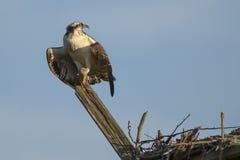 Juvenile Osprey Screaming Royalty Free Stock Image