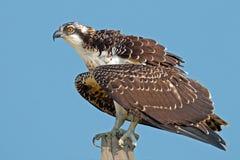 Juvenile Osprey Stock Image