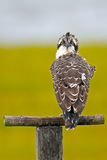 Juvenile Osprey Stock Photography