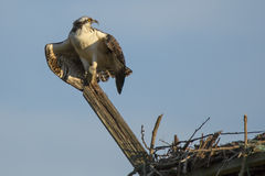 Juvenile Osprey Spreading Wings and Calling Royalty Free Stock Photography