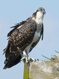 Juvenile Osprey standing on nest box.  Stock Photography