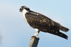 Juvenile Osprey Royalty Free Stock Photography