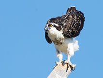 Juvenile Osprey Stock Photos