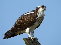 Juvenile Osprey. Standing on wooden beam Royalty Free Stock Photos