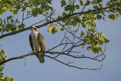 Juvenile Osprey in Tree looking over Shoulder Royalty Free Stock Images