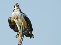 Juvenile Osprey in Tree Royalty Free Stock Images