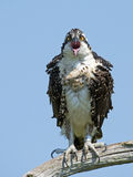 Juvenile Osprey in Tree Royalty Free Stock Photography