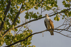 Juvenile Osprey in Tree Stretching Neck Royalty Free Stock Images