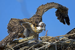 Juvenile Osprey Wings Stock Images