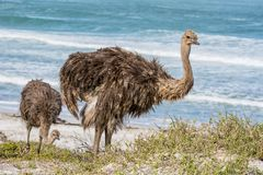 Juvenile Ostrich. A juvenile Ostrich by the ocean in Southern Africa Royalty Free Stock Image