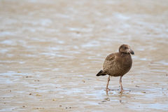 Juvenile Pacific Gull bird walking on low tide seashore looking Royalty Free Stock Photography