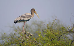 Juvenile Painted Stork (Mycteria Leucocephala) Royalty Free Stock Photo