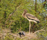 Juvenile Painted Storks (Mycteria Leucocephala) Royalty Free Stock Photography