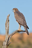 Juvenile Pale Chanting Goshawk Stock Photos