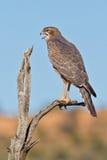 Juvenile Pale Chanting Goshawk. Photographed in the Kalahari Stock Photos
