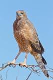 Juvenile Pale Chanting Goshawk. Photographed in the Kalahari Royalty Free Stock Photos