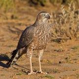 Juvenile Pale Chanting Goshawk. Photographed in the Kalahari Stock Images