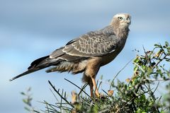Juvenile Pale Chanting Goshawk Bird Stock Photo