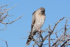 Juvenile Pale Chanting Goshawk stock images
