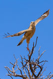 Juvenile pale chanting goshawk takes off from hunting tree perch. In the Kalahari (Melierax canorus Stock Photography