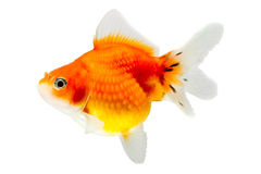 Juvenile Pearlscale Goldfish Stock Photos