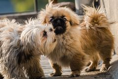 Pekingese and shih tzu. Juvenile Pekingese also lion dog mingle with Shih tzu royalty free stock image