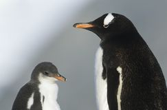 Juvenile Penguin with mother Royalty Free Stock Images