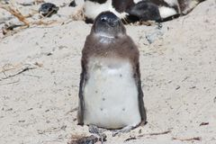Juvenile Penguin. One South African Jackass Penguin on Boulders Beach Royalty Free Stock Photo