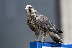June 2017 Windsor, ON Canada - Juvenile Peregrine Falcon. A Juvenile Peregrine Falcon perched on a sign post Royalty Free Stock Images
